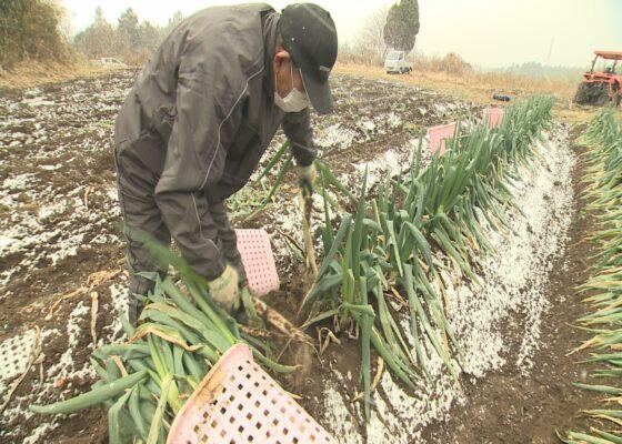 20210201 忍葱収穫最盛期③